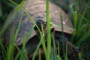 Si vous voulez nourrir votre tortue avec des aliments naturels, inspirez-vous de la nourriture de l'environnement naturel de la tortue.