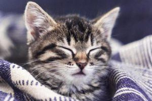Les chats dorment beaucoup. Ils dorment environ 70% de la journée et il faut comprendre qu'ils ont des cycles de sommeil différents de ceux des humains.