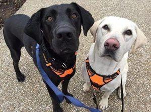 Deux chiens portant des harnais autour du cou.
