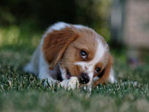 Un chien qui mange étant couché dans l'herbe.