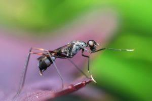un moustique adulte qui est au repos
